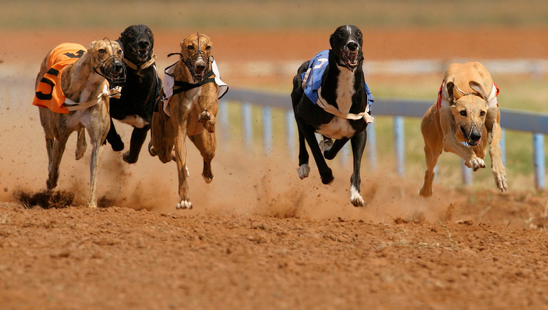 Greyhound Racing on the Rise for Punters